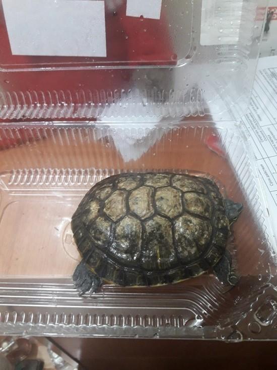 В Новом Уренгое домашнюю черепаху выбросили на мороз в пластиковом контейнере