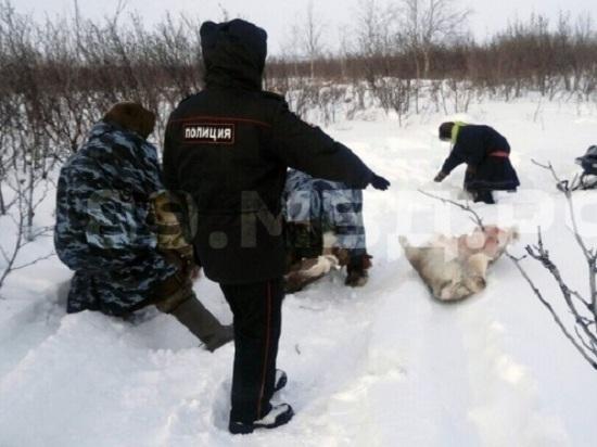 Ямалец украл и освежевал 20 северных оленей