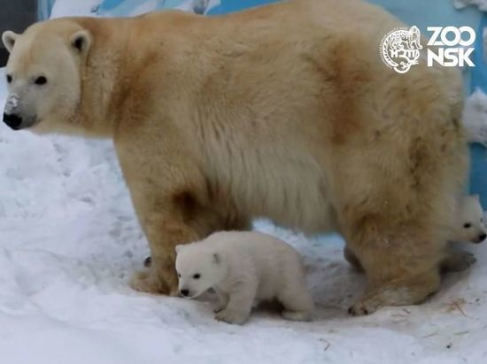 Новые медвежата Кая и Герды вышли на прогулку в Новосибирске