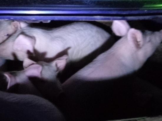 Через псковскую границу пытались провезти поросят в багажнике легковушки