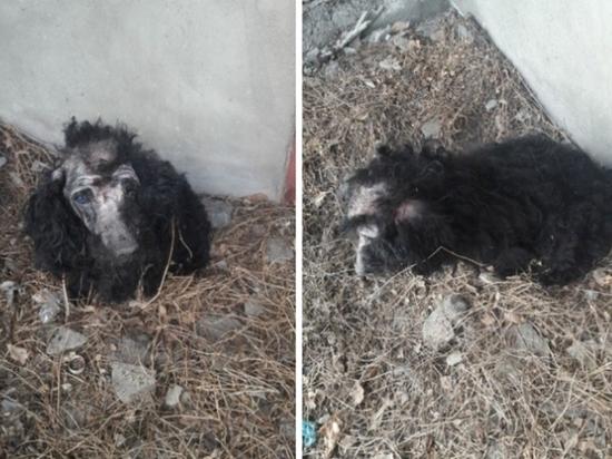 Новокузнечане попросили спасти или усыпить жуткую собаку