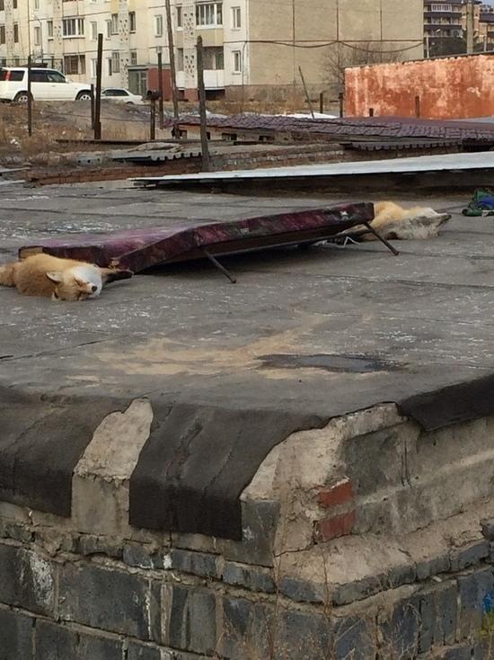 В Улан-Удэ охотник не смог продать двух лисиц и выкинул их на крышу гаража