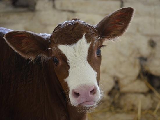Пять многодетных семей в Карелии получили по 200 тысяч рублей на покупку коров