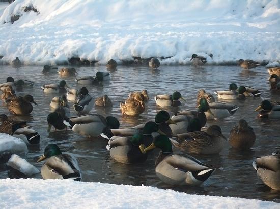В Ярославле утки благополучно перезимовали на городских водоемах