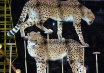 Правила содержания животных в цирках и зоопарках подготовило Министерство культуры
