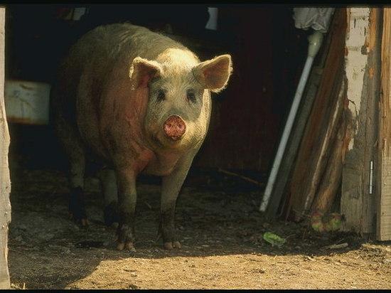 В центре Саранска в яме выращивали свиней