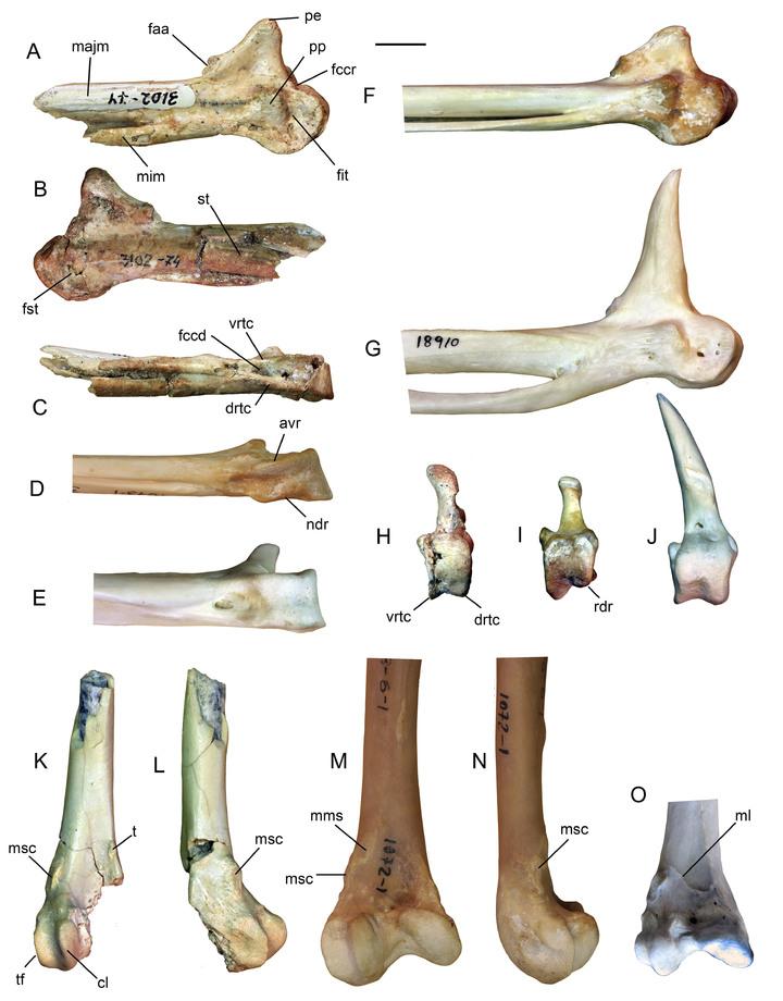 Российский ученый обнаружил дальнего предка гусей-лебедей
