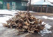 В Иркутской области задержали 600 рогов лося