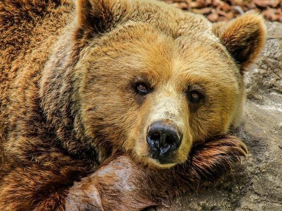 Медведи «корчат рожи»: считалось, что на это способны лишь приматы