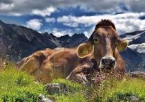Предками коровы были хищники, а родственниками китов оказались… бегемоты