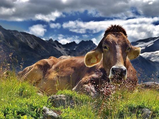 Российские ученые выяснили, от кого произошла корова