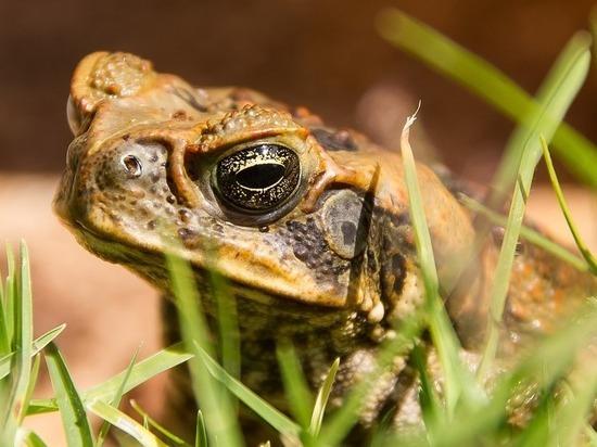 Флориду наводнили ядовитые жабы: дети в опасности