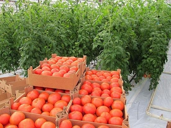 C начала года в Краснодарском крае собрано около 3,2 тысячи тонн тепличных овощей