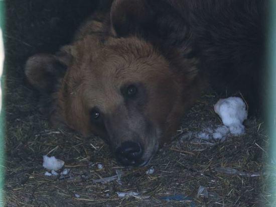 Башкирия подтвердила миф о том, что в России по улицам гуляют медведи