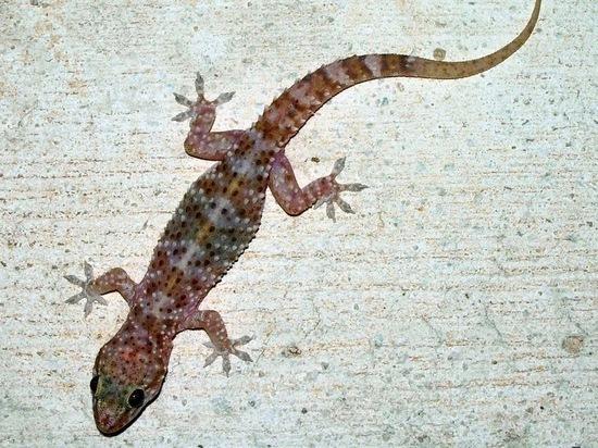 Под Сочи обнаружен новый для России вид гекконов, переселившийся с Турции