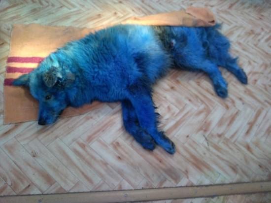 В городе Удомле Тверской области автомобиль сбил собаку синего цвета