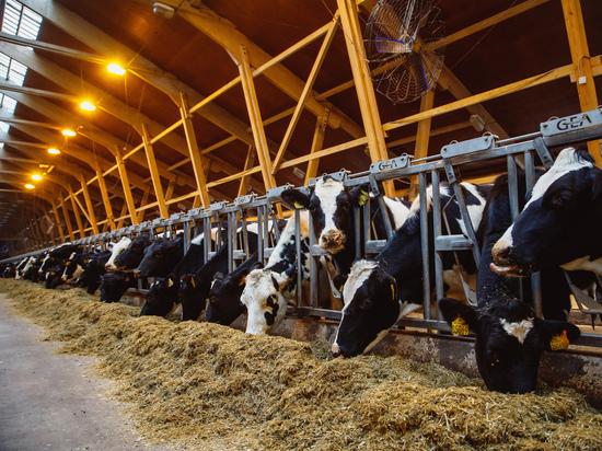 Датчане примут участие в развитии кузбасского животноводства