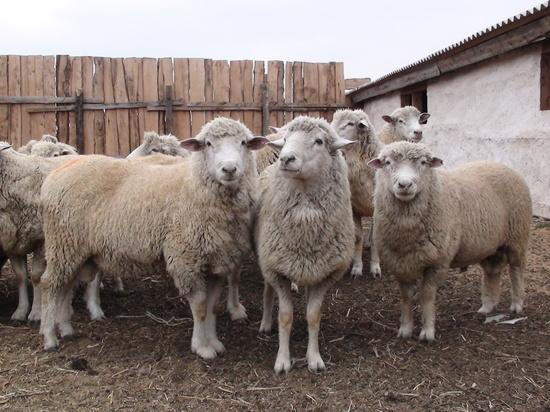 В Астраханской области началась окотная кампания овец