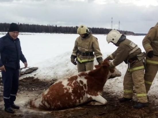 Якутские огнеборцы спасли корову