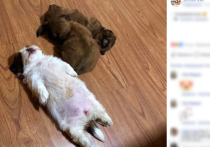 В сети набирает популярность очаровательный пес породы ши-тцу