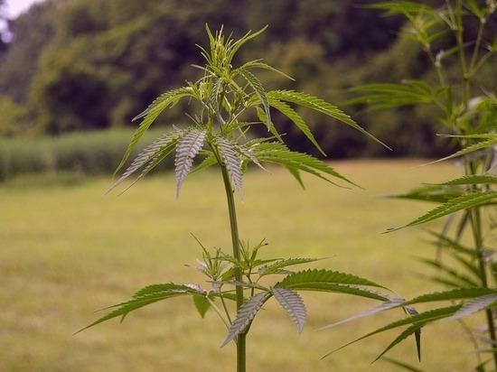 Нижегородец осужден за хранение марихуаны
