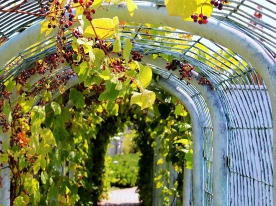 В Кирове вырубят более тысячи деревьев и высадят виноград