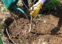 Деревья редких пород высадят в Железноводске