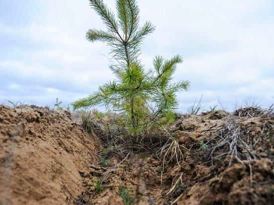 В Волгоградской области восстанавливают хвойный лес