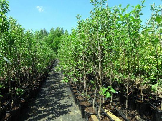 Полторы тысячи взрослых деревьев высадят летом в Хабаровске