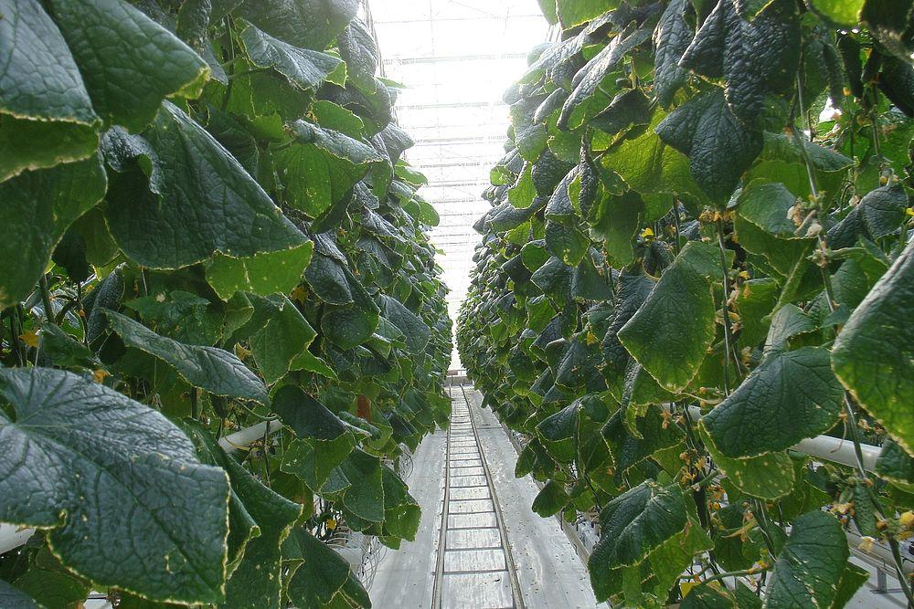 Как в Курске зимой растут огурцы