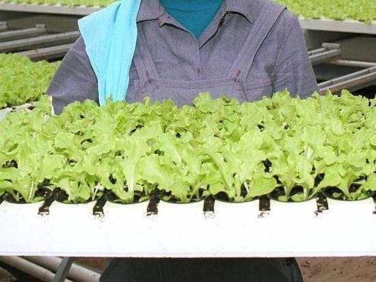 В России резко подорожала зелень для салата