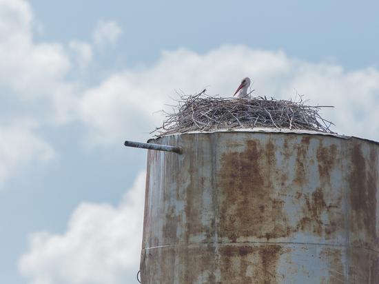 Калужанин уничтожил гнездо редкого аиста