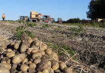 Калининградские сельхозпроизводители начали поставлять семенной картофель в Сербию