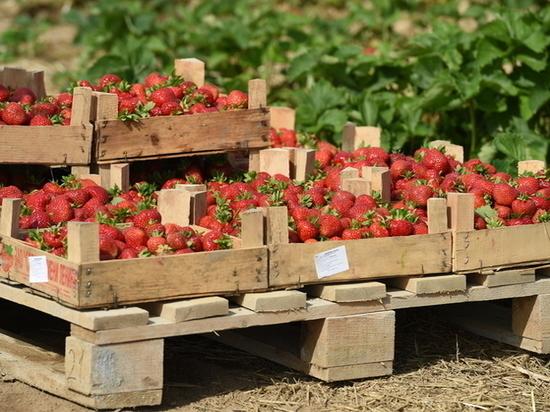 Клубничная страда: в Крыму начали сбор ароматной ягоды