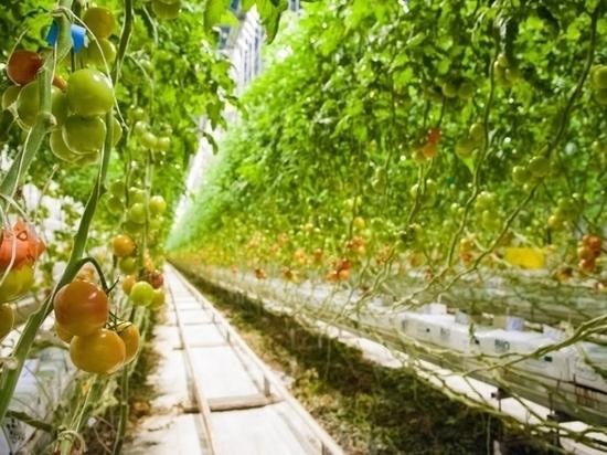 В Волгоградской области выросло производство тепличных овощей