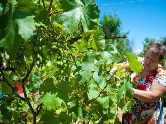 Когда и как открывать виноград после зимы: советы волгоградским дачникам