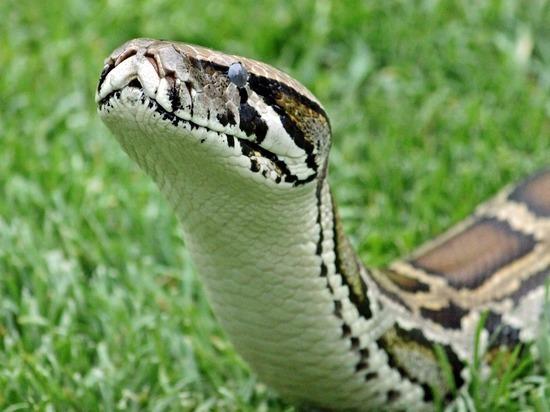 В немецком Клеве замечена громадная змея