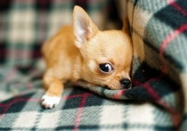 Удаление зубного камня собаке породы чихуахуа чуть не обернулось трагедией: ветеринар-стоматолог так увлекся отбеливанием клыков, что сломал крошке челюсть