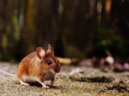 Дачников предупреждают о мышиной лихорадке с летальным исходом