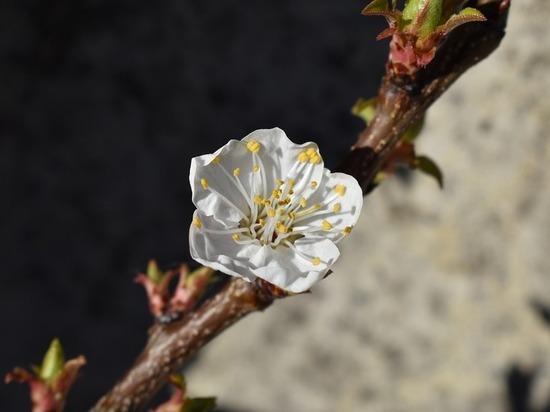 В Волгограде и области в середине апреля зацвели абрикосы