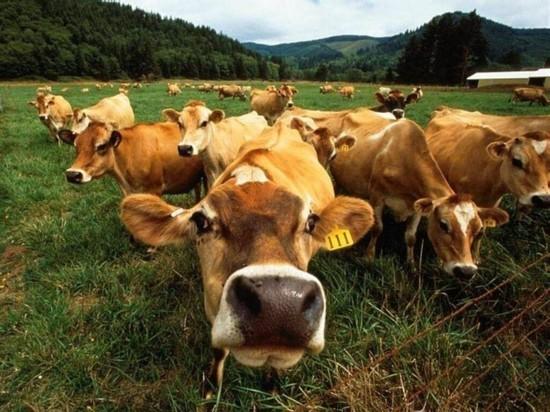 Более 150 фрагментов туш крупного рогатого скота найдены в Комсомольске-на-Амуре