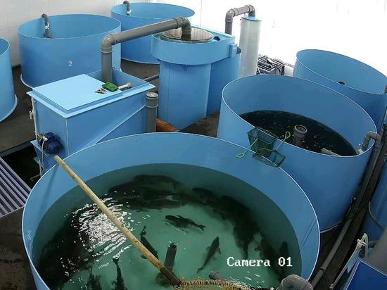 Новосибирский ГАУ начал выращивать рыбу для нужд сельского хозяйства