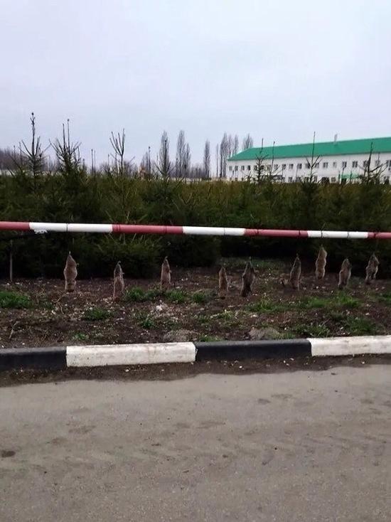 В «Корочанских садах» под Белгородом повесили кротов