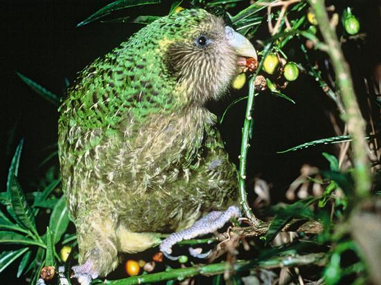 Самые толстые в мире попугаи начали активно размножаться