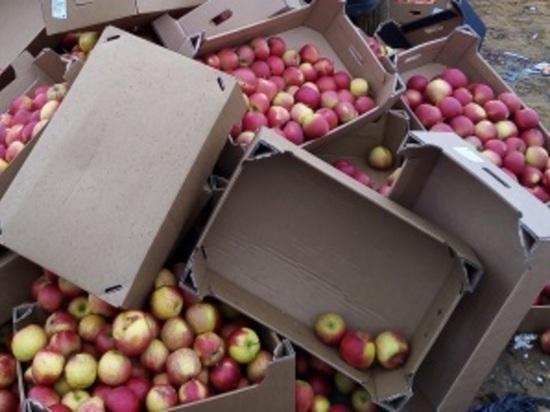 На Брянщине раскатали трактором 793 кило яблок