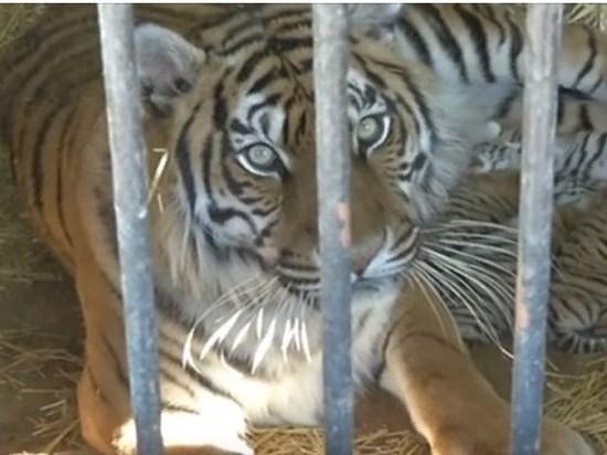 Полосатый «Оренбург»: в зоопарке родилось пять тигрят