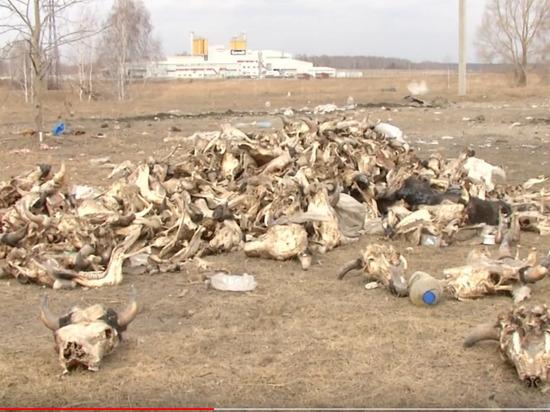 Прокуратура проверяет незаконный скотомогильник под Новосибирском