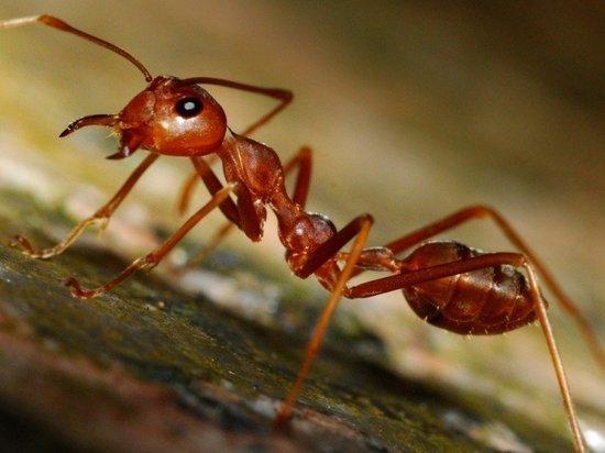 Жители Ноябрьска сообщили о появлении рыжих муравьев в квартирах