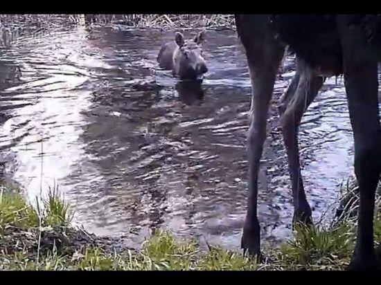 Купающиеся лоси в воронежском заповеднике попали на видео