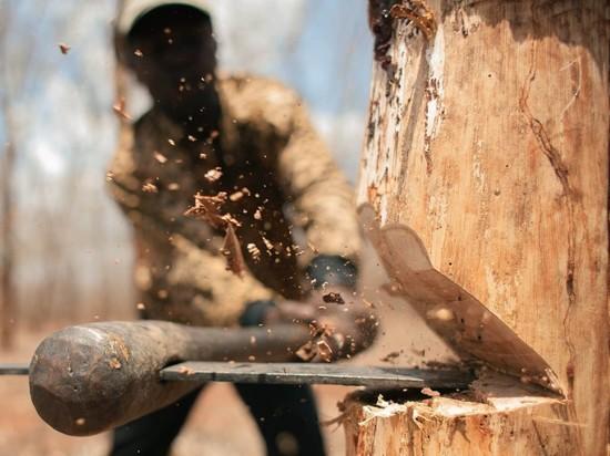 В Саракташском районе незаконно вырубили сосны